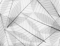 Het bladachtergrond van het skelet Stock Afbeelding