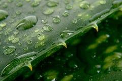 De bladeren van het aloë met daling van water Royalty-vrije Stock Afbeelding
