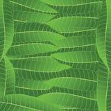 Het bladfrangipani van het ornament Stock Foto's