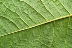 Het bladinstallatie van de textuuroppervlakte van groene kleur Stock Afbeeldingen