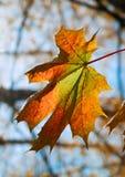 Het bladkleuren van de esdoorn Royalty-vrije Stock Fotografie