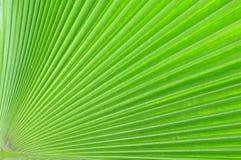 Het bladpatroon van Palmae Stock Afbeeldingen