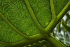 Het bladpatroon van Philodendronselloum stock fotografie