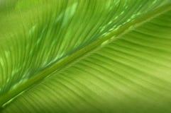 Het bladstructuur van de banaan Royalty-vrije Stock Afbeeldingen