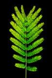 Het bladtextuur van acaciapennata op zwarte wordt geïsoleerd die Stock Foto's