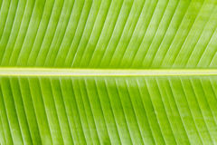 Het bladtextuur van de banaan Stock Afbeelding