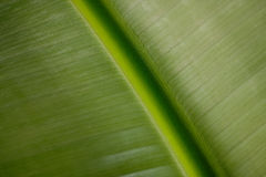 Het bladtextuur van de banaan Stock Foto's