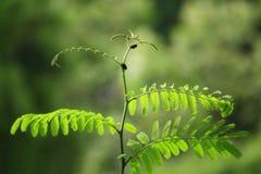 Het bladverlof, de zachte bladeren van boom in aard bos, Groen Blad schiet het groeien en klein insect op het bladwild Royalty-vrije Stock Foto's
