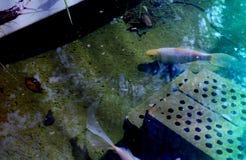 Het blauw hued foto van een goudvisvijver met bezinningen royalty-vrije stock foto's