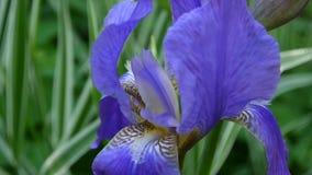 Het blauw irise close-up die zich op de wind bewegen Videolengtehd statische camera stock videobeelden
