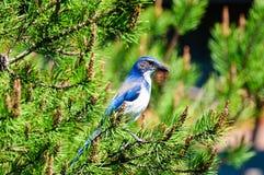 Het blauw schrobt Vlaamse gaai Royalty-vrije Stock Foto