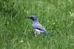 Het blauw schrobt Vlaamse gaai Stock Fotografie