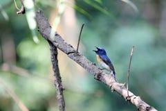 Het blauw throated vliegenvanger stock afbeeldingen