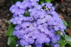 Het Blauw van Ageratumneptunus Royalty-vrije Stock Fotografie
