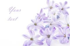 Het blauw van de hyacint Royalty-vrije Stock Afbeelding