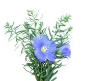 Het blauw van het vlas (Linum) Stock Foto's