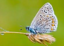 Het blauw van Icarus Royalty-vrije Stock Foto's