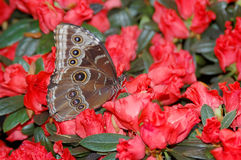 Het blauw van Morpho (morpho peleides) op rode bloemen Stock Foto's