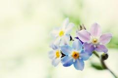 Het blauw vergeet me niet bloem Stock Foto's