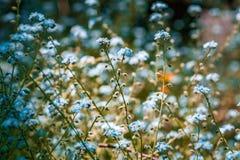 Het blauw vergeet me niet bloemen op vage achtergrond stock foto's