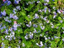 Het blauw vergeet me niet bloemen in tuin Stock Foto