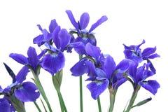 Het blauwe Boeket van de Iris Royalty-vrije Stock Afbeeldingen