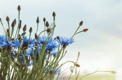Het blauwe boeket van korenbloem bloeit met bokeh en exemplaar ruimte, bloemen abstracte achtergrond Jonge volwassenen Rustieke s stock fotografie