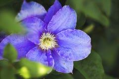 Het blauwe clematissenbloem groeien in de tuin, de zonnige zomer day_ Royalty-vrije Stock Afbeelding