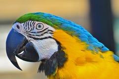 Het blauwe en Gele hoofdschot van de Ara Stock Afbeeldingen