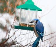 Het blauwe eten van de Vlaamse gaai Royalty-vrije Stock Afbeeldingen