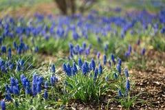 Het blauwe gebied van de druivenhyacint in een stadspark tijdens de Lente zonnige dag stock foto's
