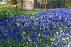 Het blauwe gebied van de druivenhyacint met gele tulipss stock foto