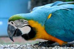 Het blauwe, groene en gele veren grote papegaai eten Royalty-vrije Stock Fotografie