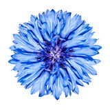 Het blauwe hoofd van de Bloem van de Korenbloem - cyanus Centaurea Royalty-vrije Stock Fotografie