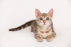 Het blauwe katje van Bengalen Stock Fotografie