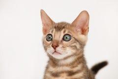Het blauwe katje van Bengalen Royalty-vrije Stock Foto's