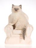 Het blauwe katje van puntRagdoll op roomstoel Stock Fotografie