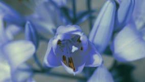 Het blauwe Leliebloem bloeien, die zijn bloesem openen Epische tijdtijdspanne Prachtige aard Futuristische Wereld stock videobeelden