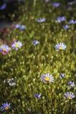 Het blauwe madeliefjesgebied bloeien royalty-vrije stock foto's