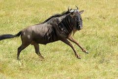 Het blauwe meest wildebeest lopen Royalty-vrije Stock Afbeeldingen
