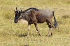 Het blauwe meest wildebeest lopen Stock Foto's