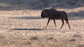 Het blauwe meest wildebeest lopen stock footage