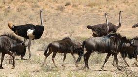 Het blauwe meest wildebeest lopen met struisvogels stock footage