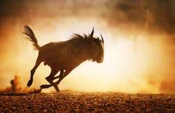 Het blauwe meest wildebeest lopen in stof Stock Fotografie