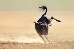 Het blauwe meest wildebeest rond springen speels Stock Foto's