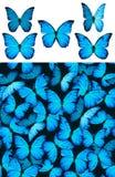 Het blauwe patroon van vlinderMorphinae Stock Foto's