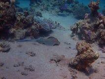 Het blauwe puntpijlstaartroggen zwemmen Royalty-vrije Stock Afbeeldingen