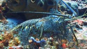 Het blauwe schaaldier lopen door koraal stock videobeelden