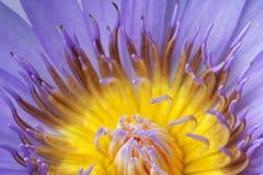 Het blauwe stuifmeel van Lotus stock foto's