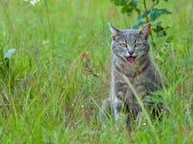 Het blauwe tabby kat hijgen Royalty-vrije Stock Fotografie